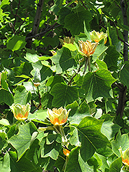 Tuliptree (Liriodendron tulipifera) at Wasco Nursery