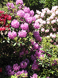 Boursault Rhododendron (Rhododendron catawbiense 'Boursault') at Wasco Nursery