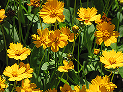 Dwarf Tickseed (Coreopsis auriculata 'Nana') at Wasco Nursery