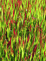 Red Baron Japanese Blood Grass (Imperata cylindrica 'Red Baron') at Wasco Nursery