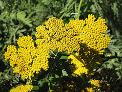 Coronation Gold Yarrow (Achillea 'Coronation Gold') at Wasco Nursery