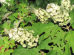Snow Queen Hydrangea (Hydrangea quercifolia 'Snow Queen') at Wasco Nursery