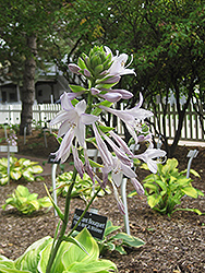 Fragrant Bouquet Hosta (Hosta 'Fragrant Bouquet') at Wasco Nursery