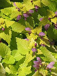 Golden Spotted Dead Nettle (Lamium maculatum 'Aureum') at Wasco Nursery