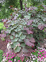Forest Pansy Redbud (Cercis canadensis 'Forest Pansy') at Wasco Nursery