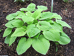 August Moon Hosta (Hosta 'August Moon') at Wasco Nursery