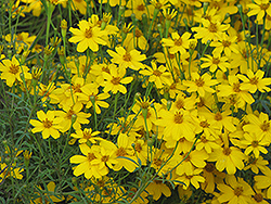 Zagreb Tickseed (Coreopsis verticillata 'Zagreb') at Wasco Nursery