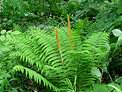 Cinnamon Fern (Osmunda cinnamomea) at Wasco Nursery