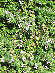Pink Chintz Creeping Thyme (Thymus praecox 'Pink Chintz') at Wasco Nursery