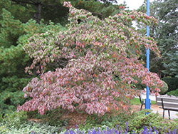 Chinese Dogwood (Cornus kousa) at Wasco Nursery