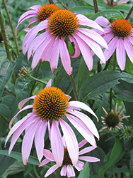 Purple Coneflower (Echinacea purpurea) at Wasco Nursery