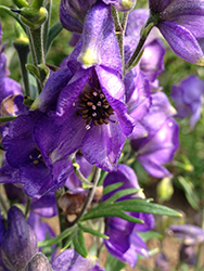 Azure Monkshood (Aconitum fischeri) at Wasco Nursery