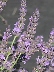 Grosso Lavender (Lavandula x intermedia 'Grosso') at Wasco Nursery