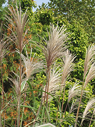 Variegated Silver Grass (Miscanthus sinensis 'Variegatus') at Wasco Nursery
