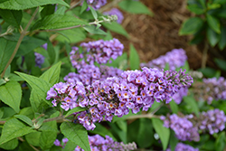 Lo And Behold® Blue Chip Dwarf Butterfly Bush (Buddleia 'Lo And Behold Blue Chip') at Wasco Nursery