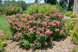 Double Play® Red Spirea (Spiraea japonica 'SMNSJMFR') at Wasco Nursery