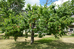 Bing Cherry (Prunus avium 'Bing') at Wasco Nursery