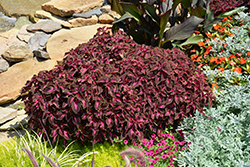 ColorBlaze® Kingswood Torch Coleus (Solenostemon scutellarioides 'Kingswood Torch') at Wasco Nursery