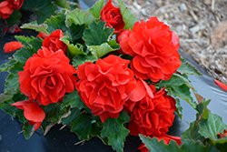 Nonstop® Red Begonia (Begonia 'Nonstop Red') at Wasco Nursery
