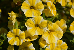 Superbells® Lemon Slice Calibrachoa (Calibrachoa 'Superbells Lemon Slice') at Wasco Nursery