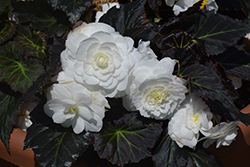 Nonstop® Mocca White Begonia (Begonia 'Nonstop Mocca White') at Wasco Nursery
