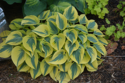Autumn Frost Hosta (Hosta 'Autumn Frost') at Wasco Nursery