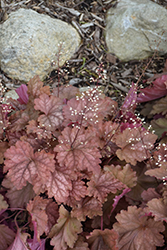 Peachberry Ice Coral Bells (Heuchera 'Peachberry Ice') at Wasco Nursery