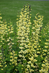 Decadence® Lemon Meringue False Indigo (Baptisia 'Lemon Meringue') at Wasco Nursery