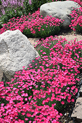 Paint The Town Magenta Pinks (Dianthus 'Paint The Town Magenta') at Wasco Nursery