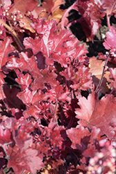 Dolce® Cherry Truffles Coral Bells (Heuchera 'Cherry Truffles') at Wasco Nursery