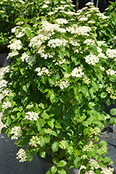 Autumn Jazz Viburnum (Viburnum dentatum 'Ralph Senior') at Wasco Nursery