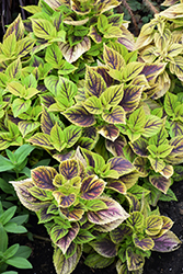 Gays Delight Coleus (Solenostemon scutellarioides 'Gays Delight') at Wasco Nursery