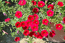 Superbells® Red Calibrachoa (Calibrachoa 'Superbells Red') at Wasco Nursery