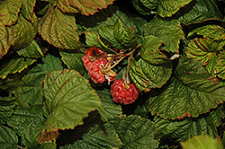 Raspberry Shortcake® Raspberry (Rubus 'NR7') at Wasco Nursery