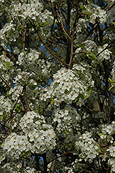 Chanticleer Ornamental Pear (Pyrus calleryana 'Chanticleer') at Wasco Nursery