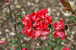 Double Take Pink™ Flowering Quince (Chaenomeles speciosa 'Double Take Pink Storm') at Wasco Nursery