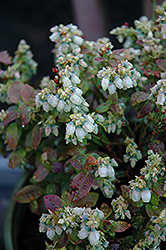 Jelly Bean® Blueberry (Vaccinium 'ZF06-179') at Wasco Nursery