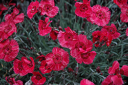 Eastern Star Pinks (Dianthus 'Red Dwarf') at Wasco Nursery