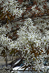 Spring Flurry Serviceberry (Amelanchier laevis 'JFS-Arb') at Wasco Nursery