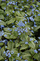 Silver Heart Bugloss (Brunnera macrophylla 'Silver Heart') at Wasco Nursery