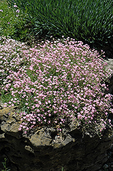 Pink Creeping Baby's Breath (Gypsophila repens 'Rosea') at Wasco Nursery