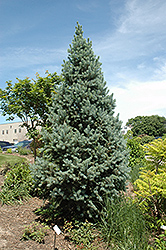 Upright Colorado Spruce (Picea pungens 'Fastigiata') at Wasco Nursery