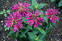 Pardon My Purple Beebalm (Monarda didyma 'Pardon My Purple') at Wasco Nursery