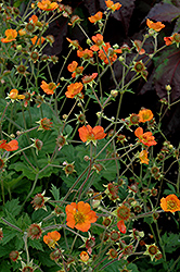 Totally Tangerine Avens (Geum 'Tim's Tangerine') at Wasco Nursery