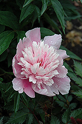 Raspberry Sundae Peony (Paeonia 'Raspberry Sundae') at Wasco Nursery
