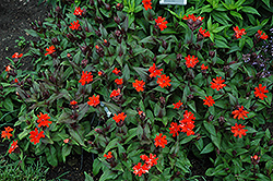 Orange Gnome Campion (Lychnis x arkwrightii 'Orange Gnome') at Wasco Nursery
