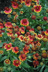 Arizona Sun Blanket Flower (Gaillardia x grandiflora 'Arizona Sun') at Wasco Nursery