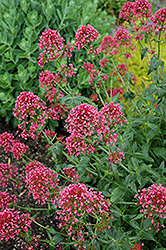 Red Valerian (Centranthus ruber 'Coccineus') at Wasco Nursery