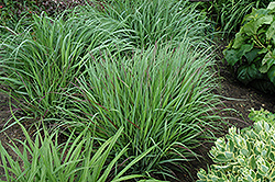 Cheyenne Sky Switch Grass (Panicum virgatum 'Cheyenne Sky') at Wasco Nursery