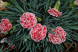 Coral Reef Pinks (Dianthus 'WP07OLDRICE') at Wasco Nursery